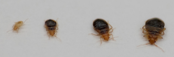 Bed Bug Larvae