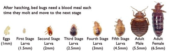 red-bed-bugs-life-cycle-sizes-types